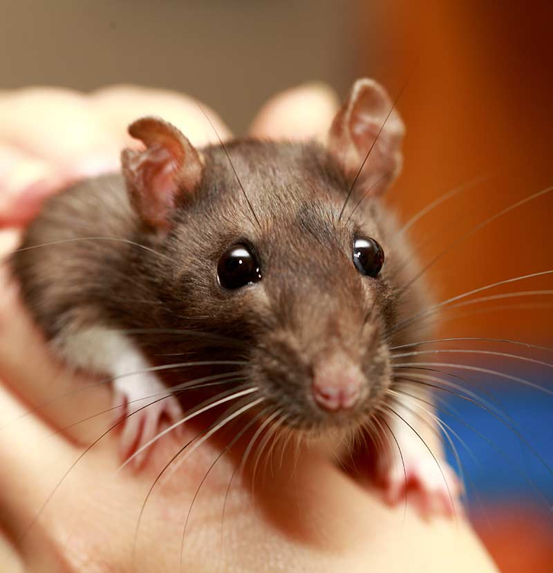 best rodent pet - rat