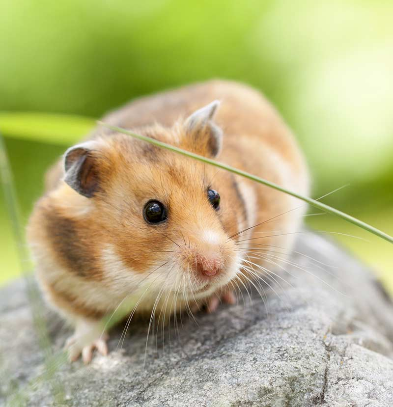 best rodent pet - syrian hamster