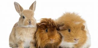 can rabbits and guinea pigs live together