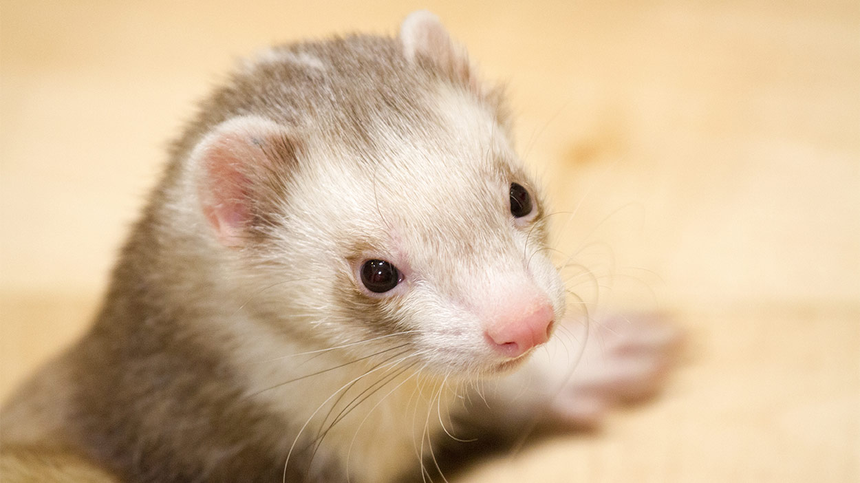 best pets for kids ferret
