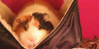 guinea pig hammocks