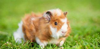 guinea pig mites