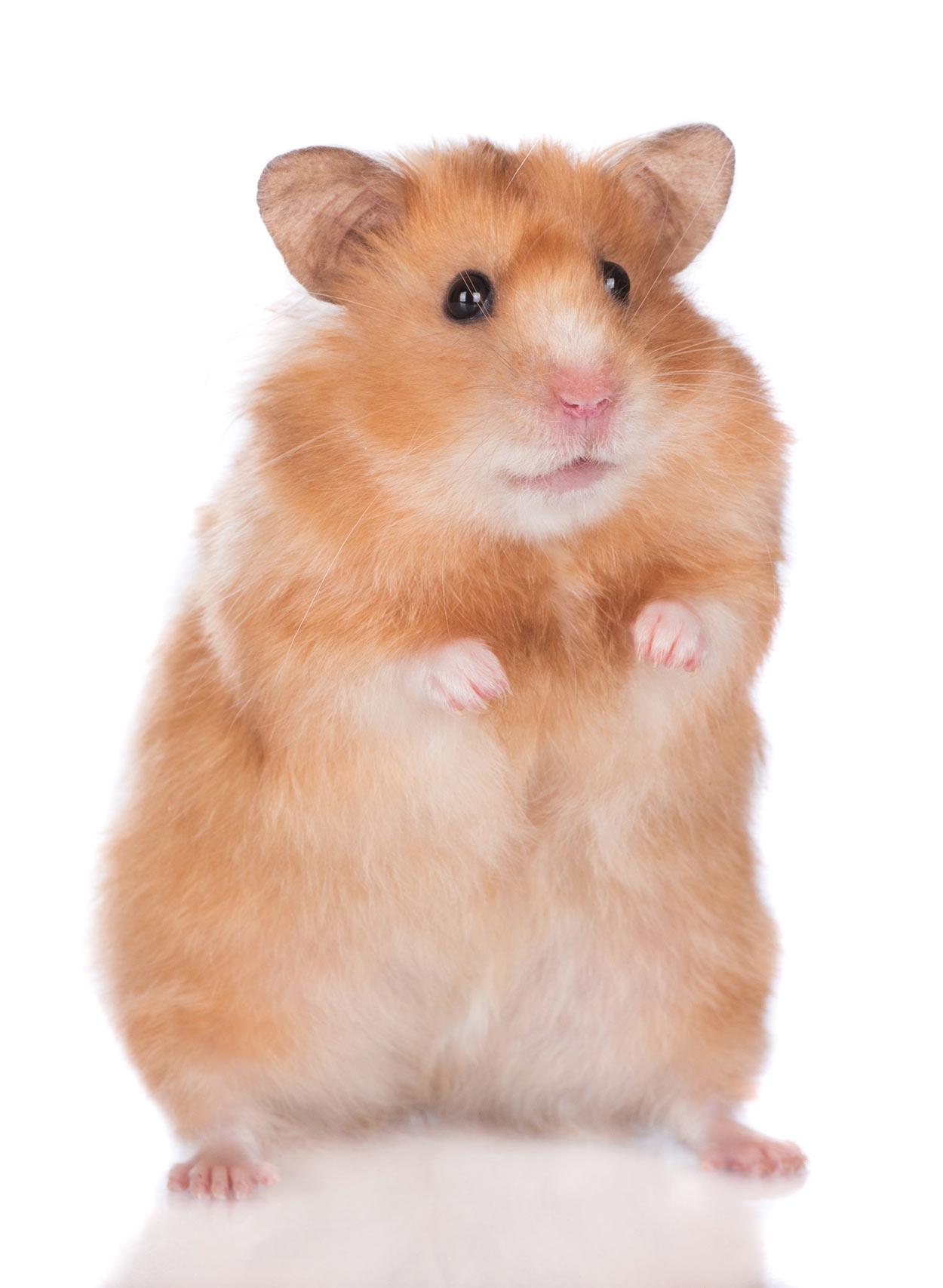 best pets for kids hamster