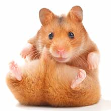 How Long Do Hamsters Live - A Guide To Hamster Life Span
