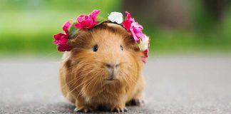 how much are guinea pigs