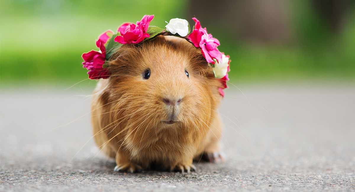 How Much Are Guinea Pigs What To Expect When Looking To Buy