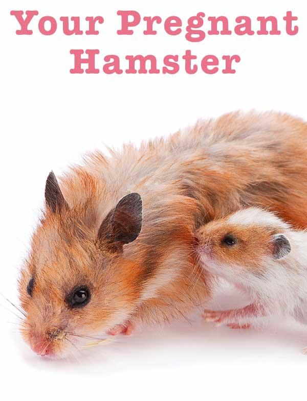 pregnant hamster