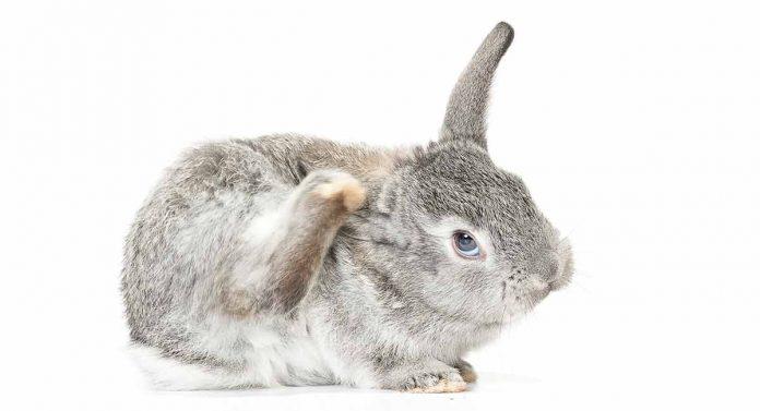 advantage for rabbits
