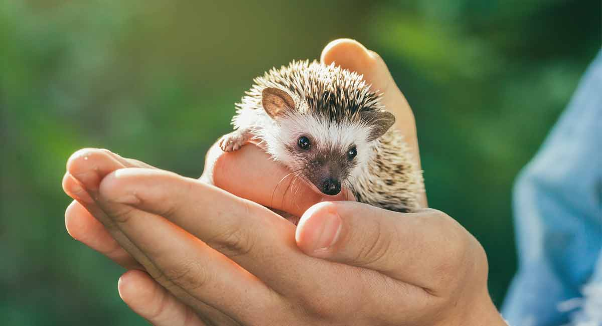 Hedgehog Pet Price >> Are African Pygmy Hedgehogs Good Pets