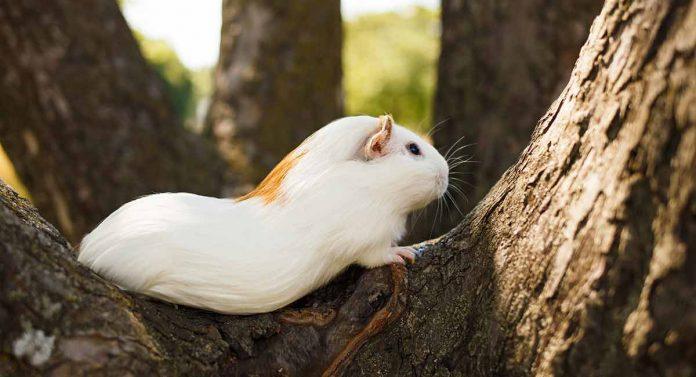 can guinea pigs climb