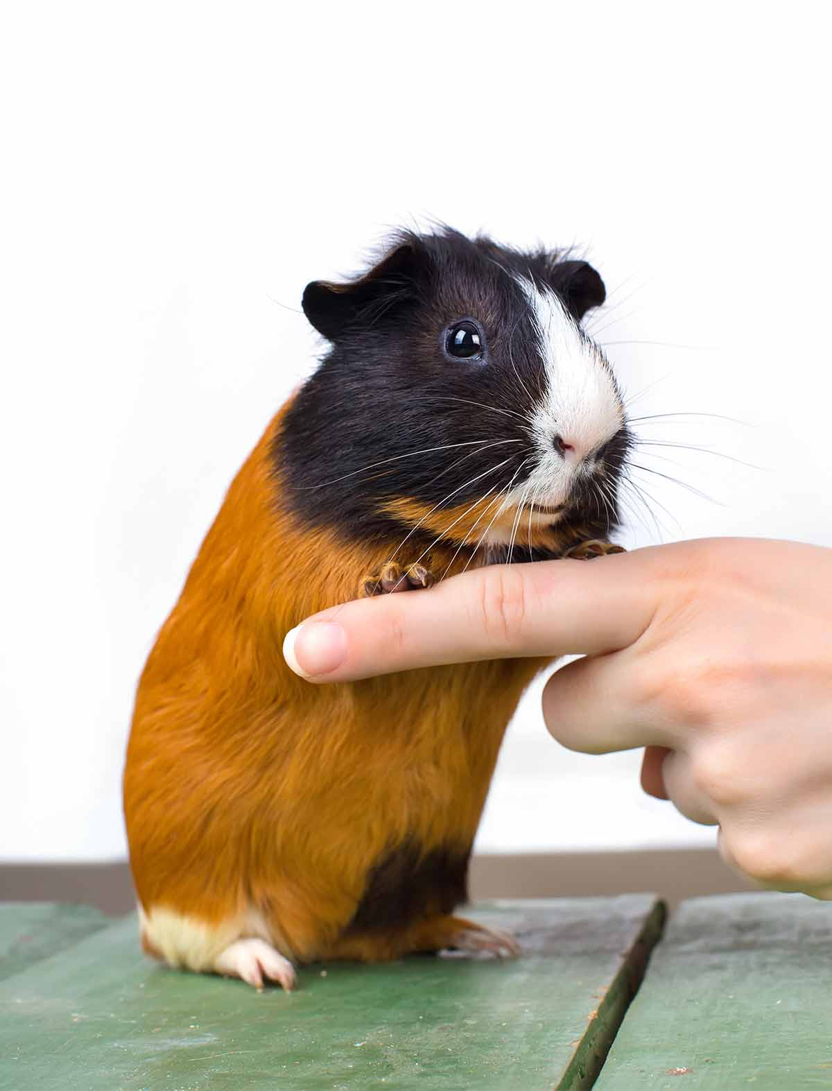 can guinea pigs jump