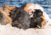 can guinea pigs swim
