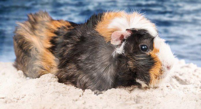 can guinea pigs swim