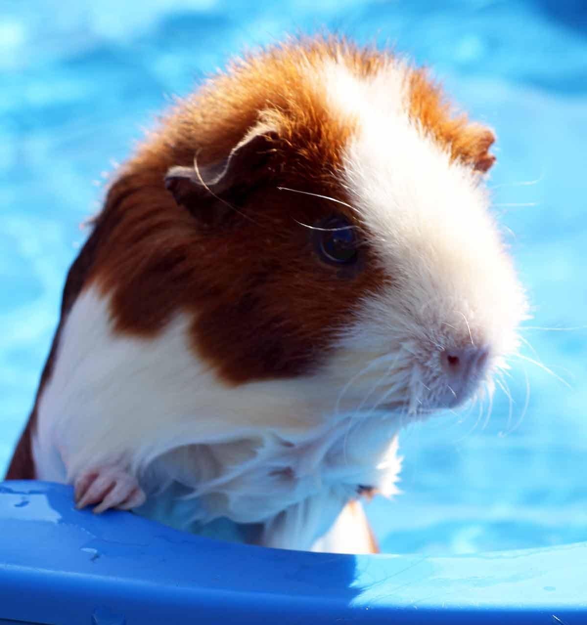 can guinea pig swim