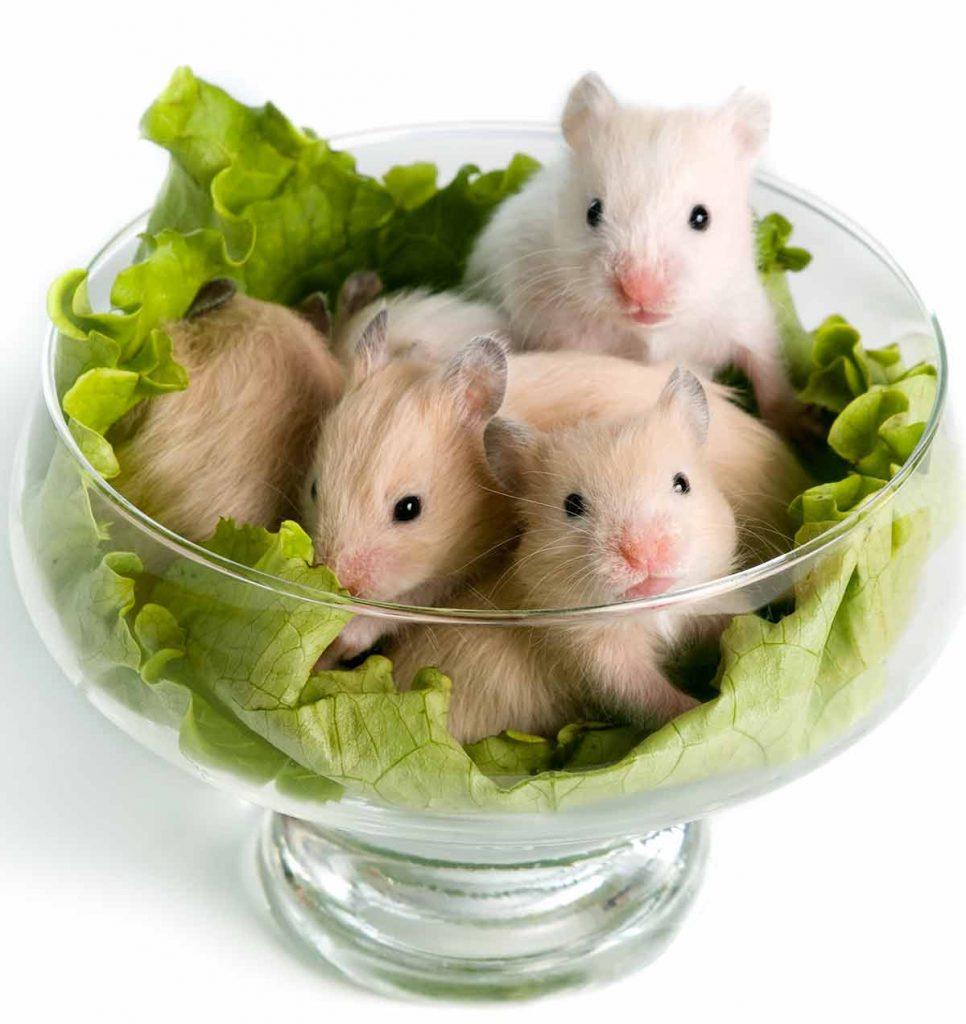 Can dwarf hamsters eat lettuce?
