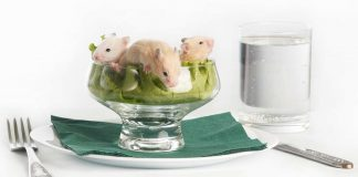 Can hamsters eat lettuce?