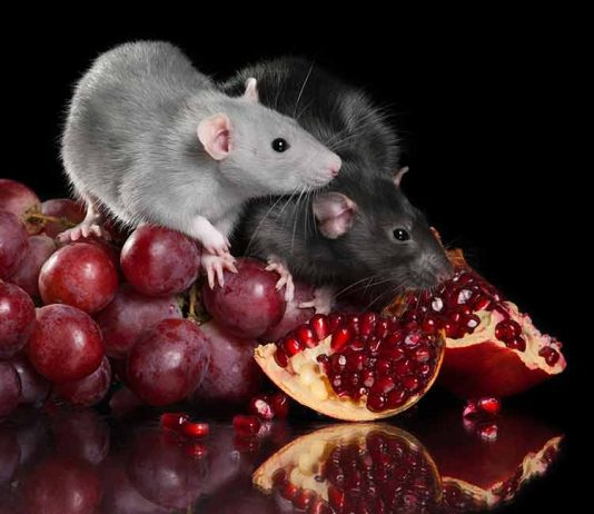 can rats eat grapes