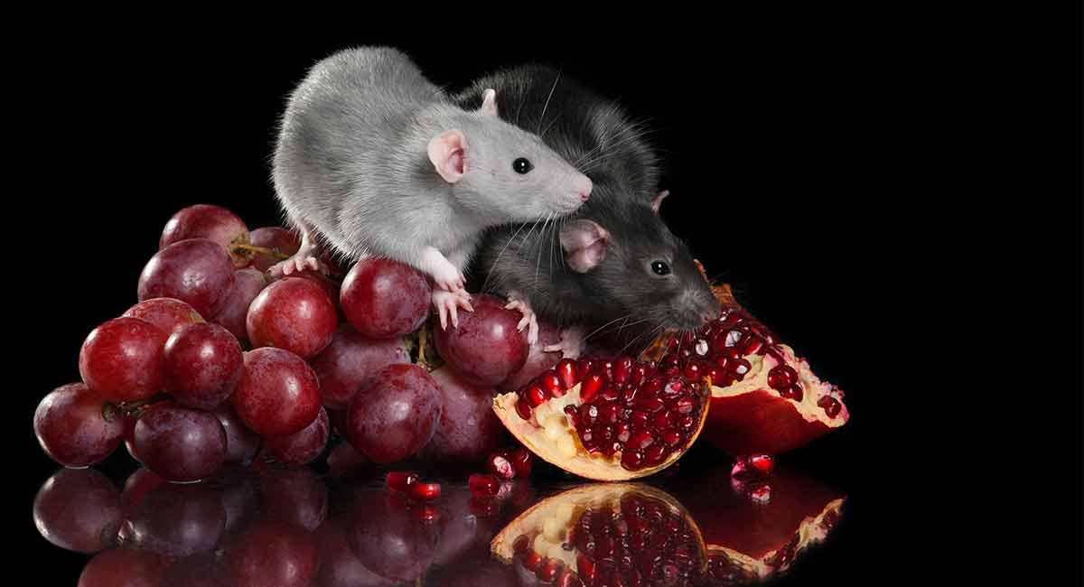 Can Rats Eat Grapes As A Tasty Fruity Treat