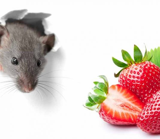 can rats eat strawberries