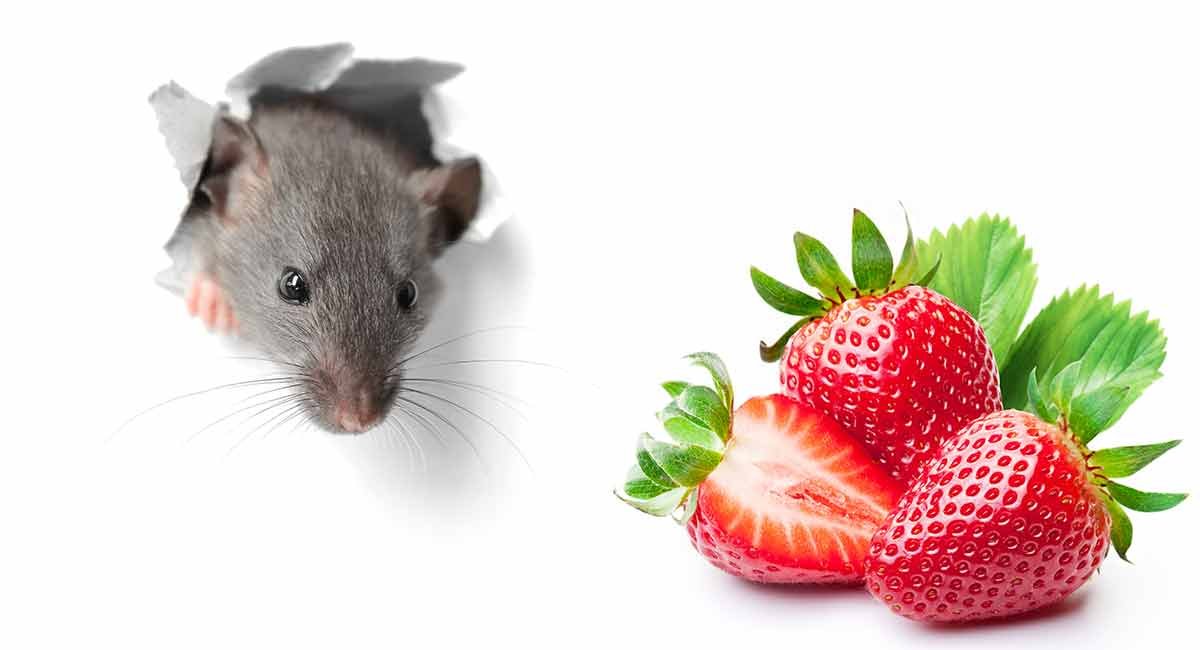 Can Rats Eat Strawberries Or Are They Best Avoided?