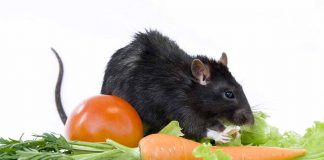 can rats eat tomatoes