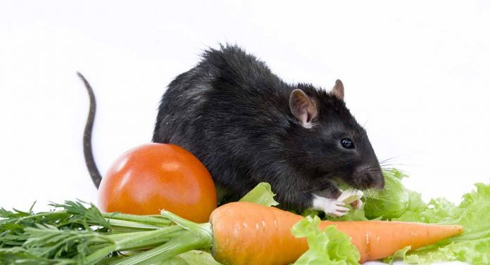rats eat tomatoes safely   snack