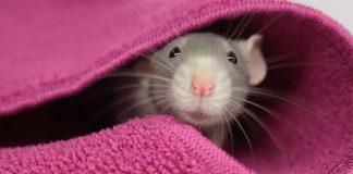 can rats swim