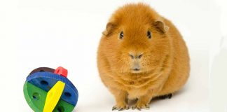 best guinea pig chew toys