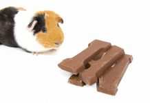 guinea pig foods to avoid