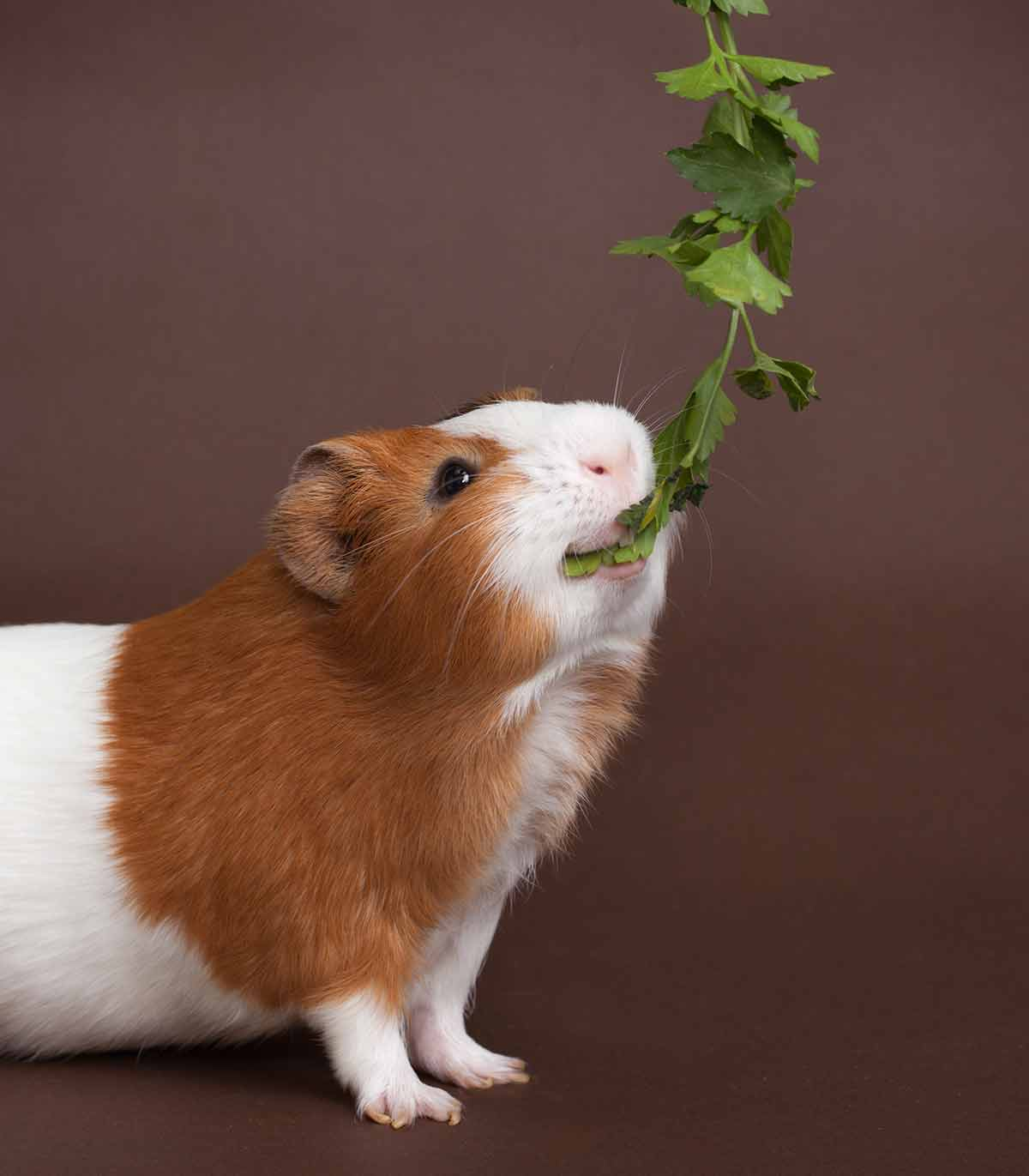 guinea pig safe foods