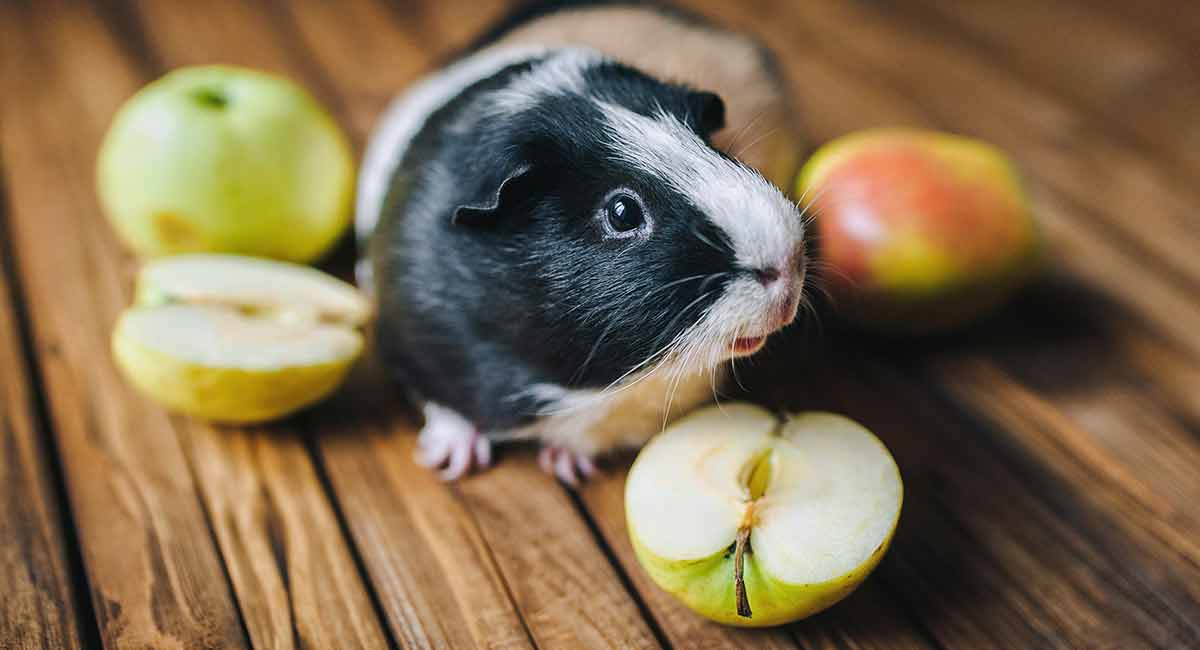 Foods That Guinea Pigs Can Not Eat