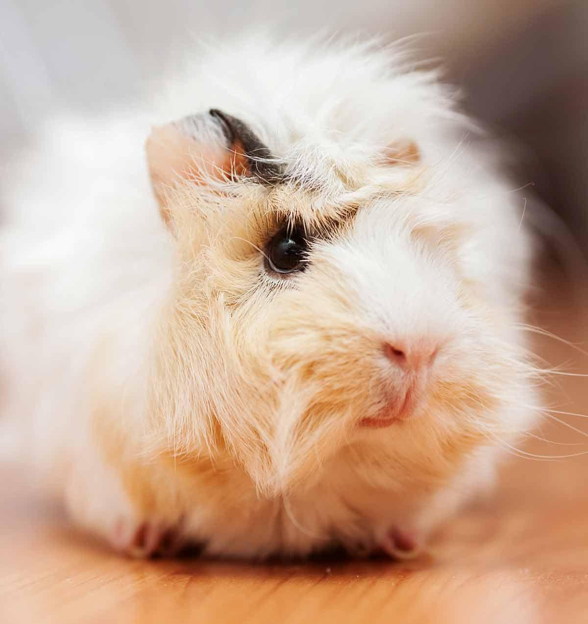 guinea pig videos