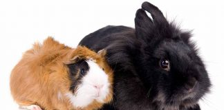 guinea pig vs rabbit