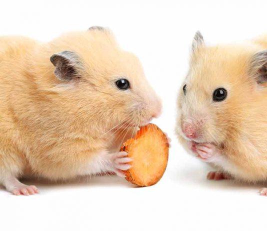 hamster safe foods