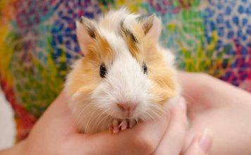 how to tame a guinea pig