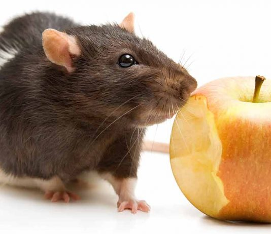 safe foods for rats