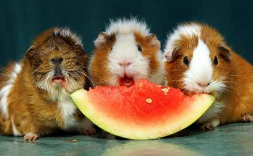 vitamin c for guinea pigs