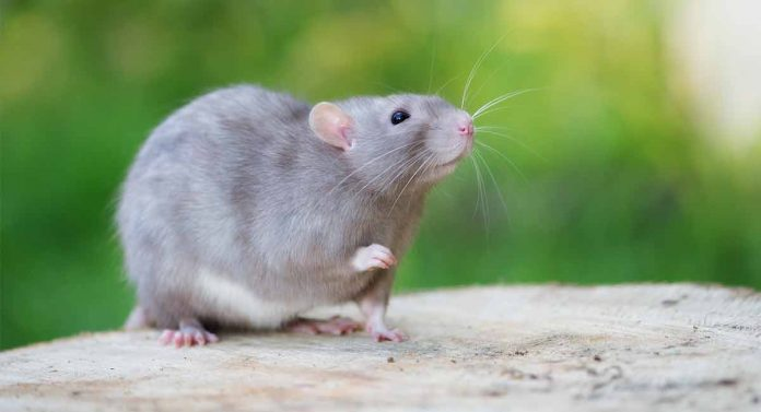 what sound does a rat make