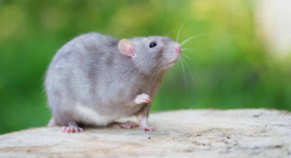 What Sound Does A Rat Make? Learn What He's Saying