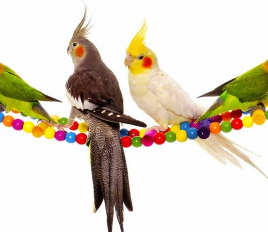 What are some toys that cockatiels like?