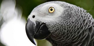 african grey parrot lifespan
