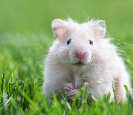 Are hamsters rodents?