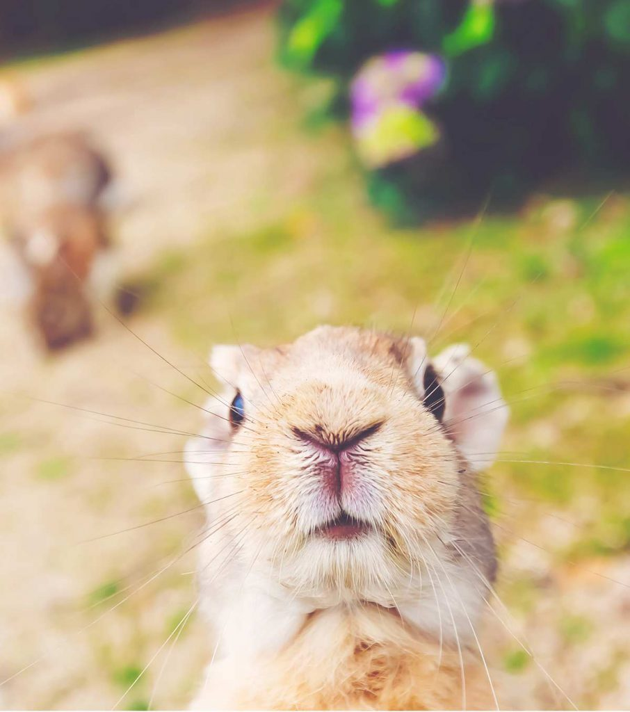 What is a lagomorph rabbit?