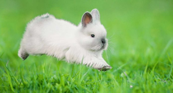 Are rabbits rodents?