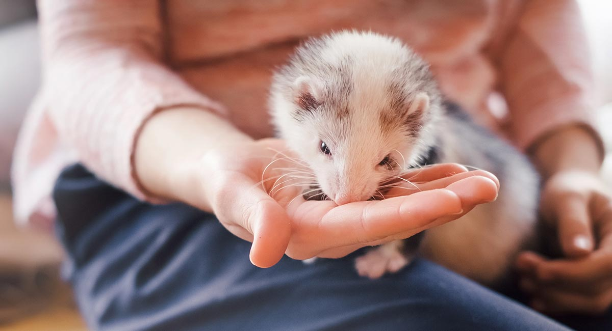 Can Ferrets Eat Cat Food Squeaks And Nibbles
