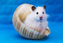 can hamsters swim header