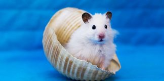 can hamsters swim header