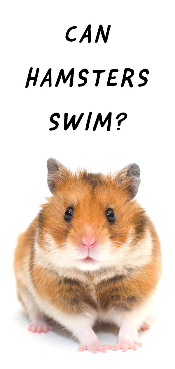 can hamsters swim