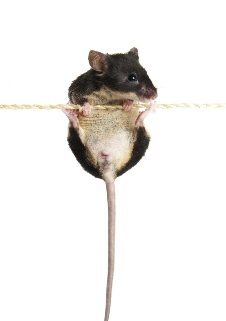 Can mice climb walls?