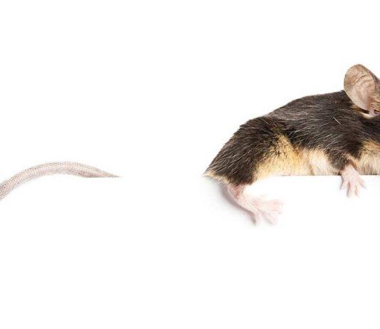 Can mice climb?